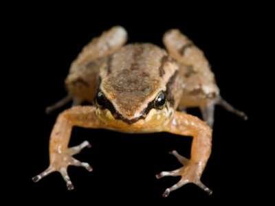 Вулкан может стать причиной вымирания редкого вида лягушек