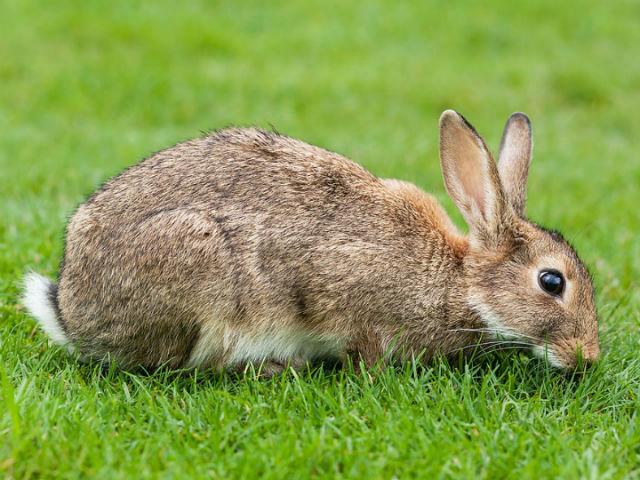 Анализ полных геномов диких и домашних кроликов выявил отпечаток одомашнивания. На фото дикий или европейский кролик (фото Wikipedia Commons).