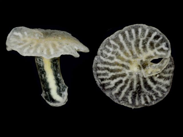 Многоклеточные грибовидные организмы могут быть потомками древних вымерших видов (фото Just et al.).