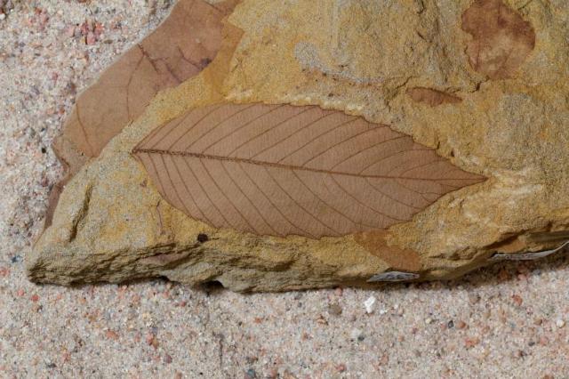 Окаменелый образец из формации Хелл-Крик (фото Benjamin Blonder).