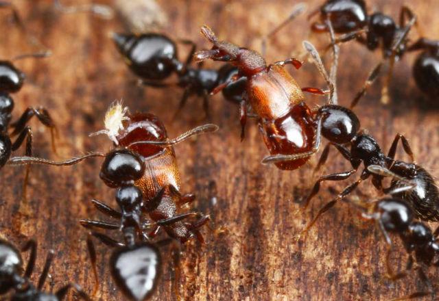 Представители рода Clavigeritae легко обманывают муравьёв и эксплуатируют их ресурсы (фото Takashi Komatsu).