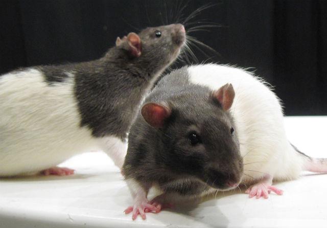 У грызунов появляются очаги воспаления мозга после употребления пищи, богатой жирами и углеводами (фото Wikimedia Commons).