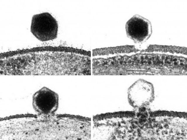 Вирус ATCV-1 проникает в водоросль (иллюстрация Meints et al.).