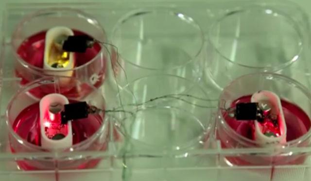 В миниатюрных биореакторах выращивались настоящие прочные хрящи (фото University of Southampton).