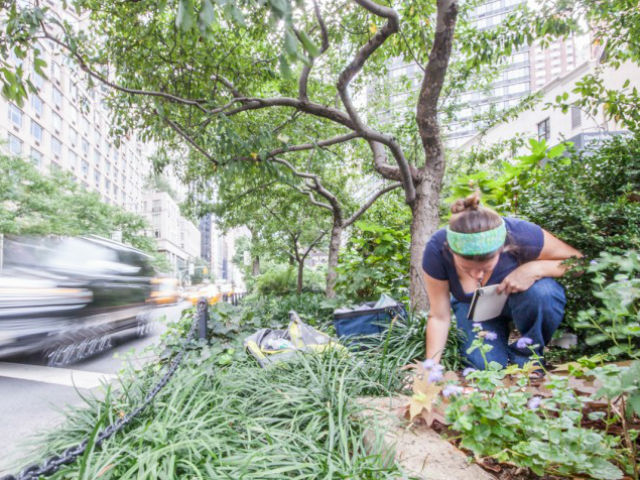 Одна из участниц исследования, энтомолог Эми Саваж (Amy Savage) ведёт наблюдение за насекомыми на разделительной полосе Бродвея (фото Lauren Nichols).