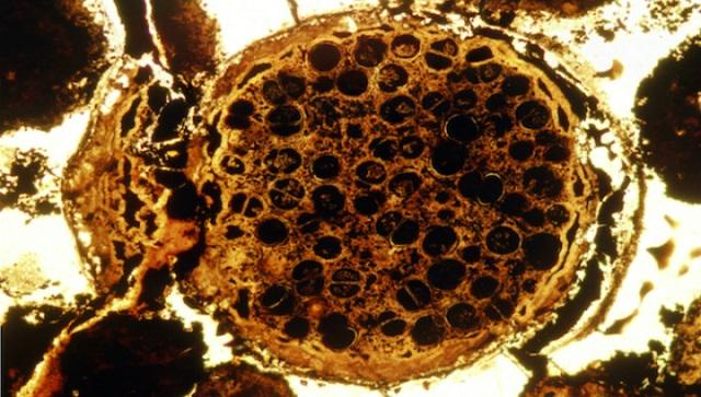 Многоклеточное существо-гранат возрастом 600 миллионов лет (фото Lei Chen, Shuhai Xiao).