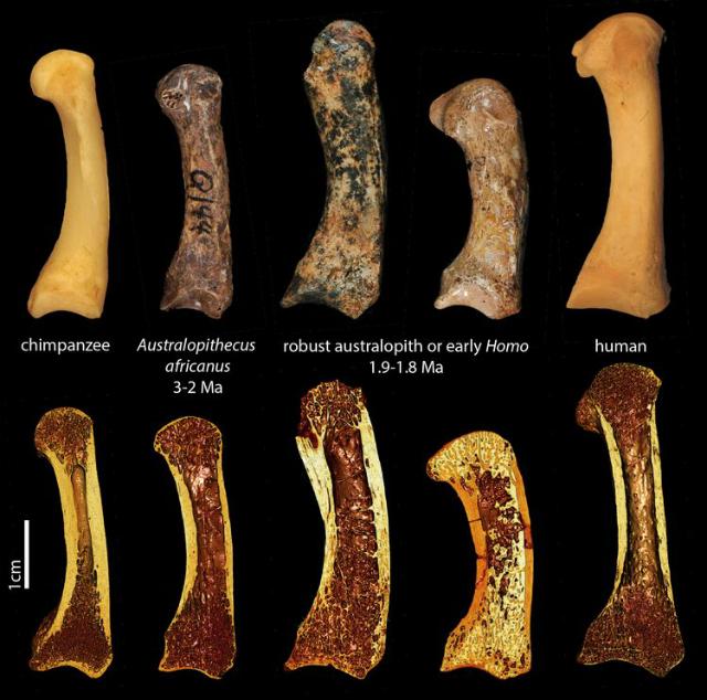 Верхний ряд: кости большого пальца различных приматов. Нижний ряд: 3D-визуализации микро-КТ тех же образцов, демонстрирующие внутренние структуры костей (фото Tracy Kivell/перевод Вести.Наука).