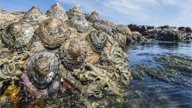 Морские блюдца часто встречаются в водоёмах у берега (фото Peter Chadwick/SPL).