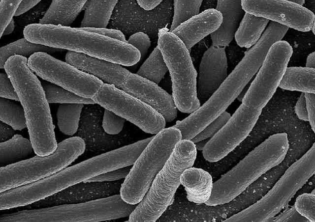 Антимикробные пептиды проявили активность против кишечной палочки (фото Wikimedia Commons).