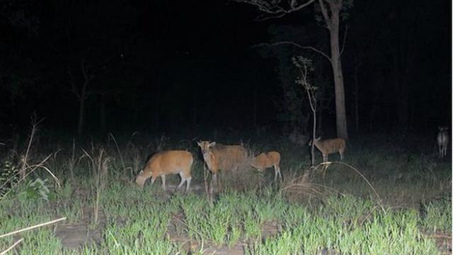 Бантенги, обитающие в лесах Камбоджи (фото SPL).