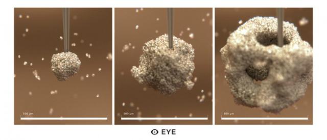 Глаз формируется посредством биопечати, на специальную основу собираются различные клетки (иллюстрация MHOX).