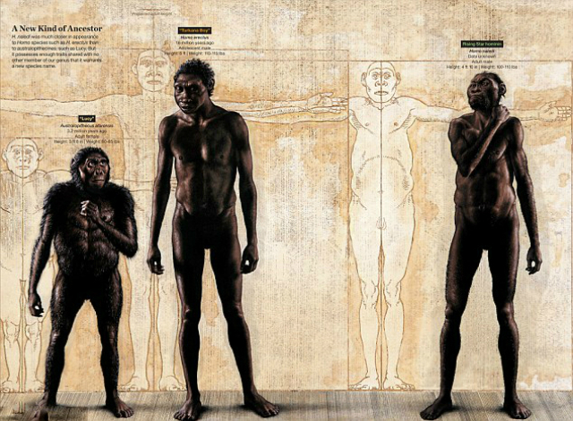 Сравнение Homo naledi с человеком прямоходящим (в центре) и австралопитеком Люси (слева) (иллюстрация John Gurche).