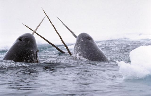 Нарвалы – морские единороги (фото Glenn Williams).