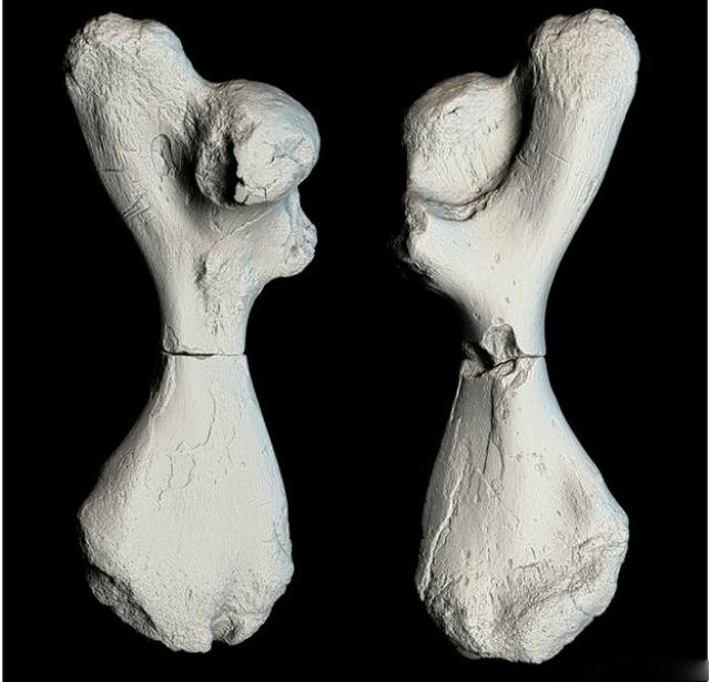 """""""Слепок"""" разломленной кости, созданный при помощи 3D-сканирования (фото Jesse Pruitt/Idaho MNH)."""