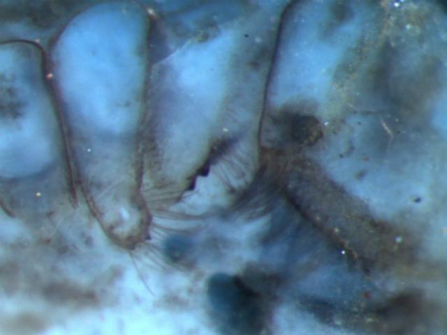 Ископаемое паукообразное возрастом в 410 миллионов лет (фото NHM).