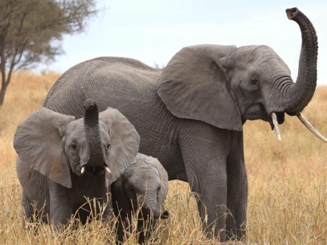 Обонятельных рецепторов у слонов в 5 раз больше, чем у человека