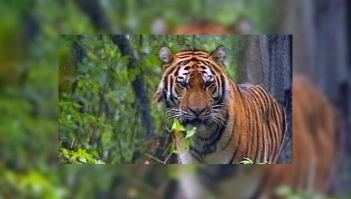 Международный день тигра в дикой