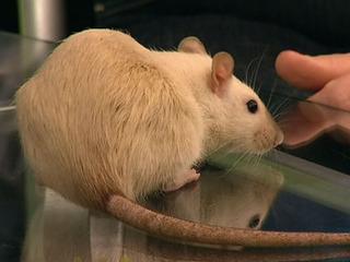 В мире животных. Декоративные крысы