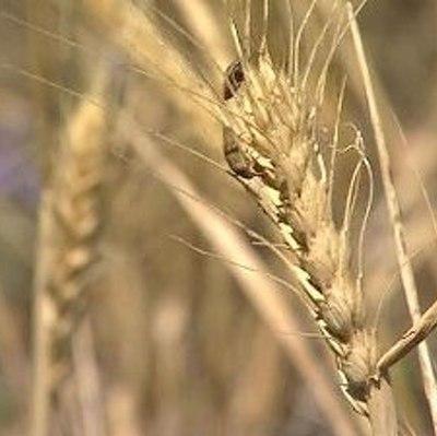Начинает действовать пошлина на экспорт пшеницы из России