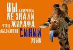 У жирафа абсолютно синий язык