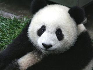 Как заставить панд полюбить друг друга