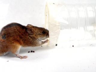 Мышиный характер