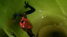 Ядовитые лягушки